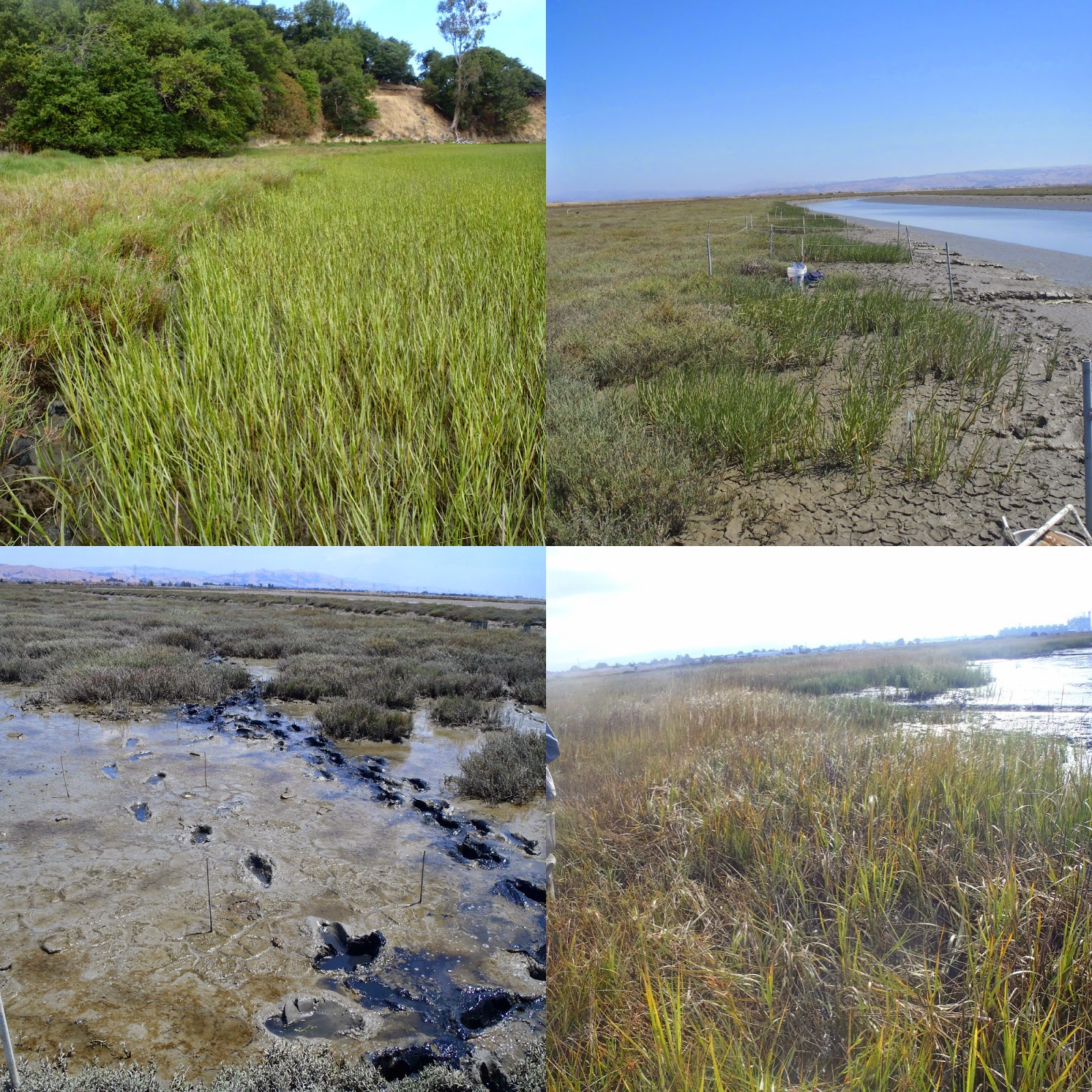salt marsh research paper Salt marshes salt marshes are dynamics have been well studied since n is the most limiting element of salt marsh experimental research and long-term.